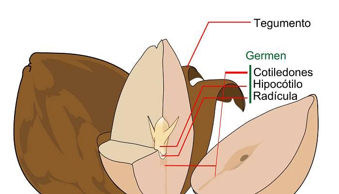 Estructura de las semillas