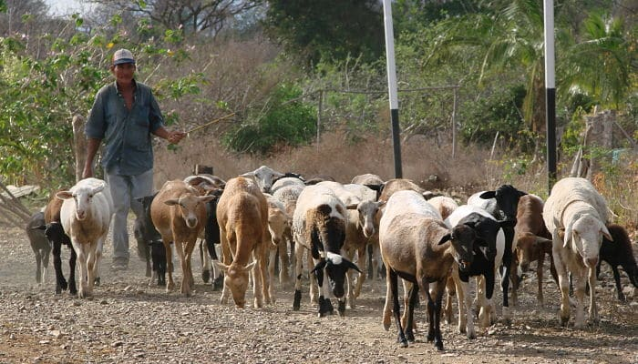 El pastoreo en la ganadería
