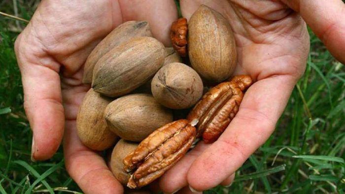 Cultivos de nueces