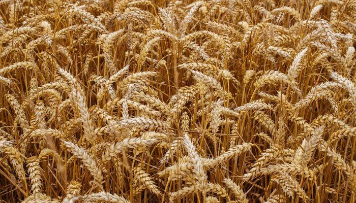 Cultivos de cereales