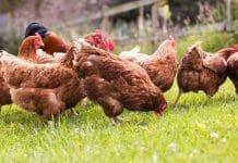 gallinas comportamiento