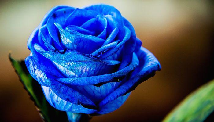 Cómo Cultivar Rosas Azules En 6 Pasos Riego Fertilizantes Y Más