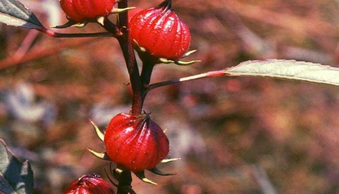 Cómo cultivar flor de Jamaica