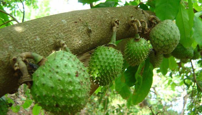 Cómo cultivar guanábana