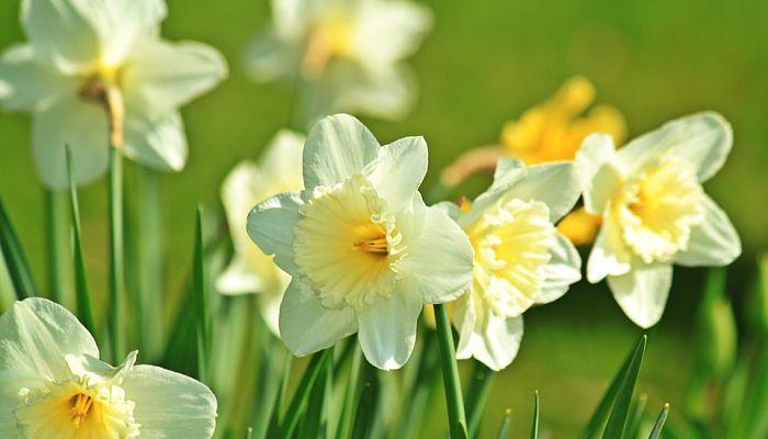 Como Cultivar Narcisos En Solo 10 Pasos Cuidados Y Beneficios - Narcisos-amarillos
