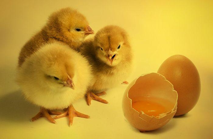 criar pollitos para gallinas ponedoras