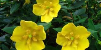 Cómo cultivar hypericum