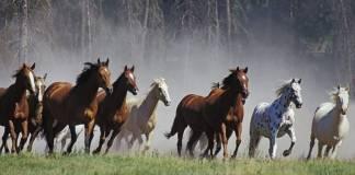 Ganado equino