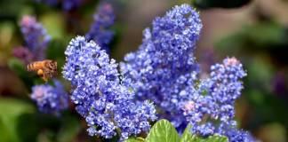 Cómo cultivar lilas californianas