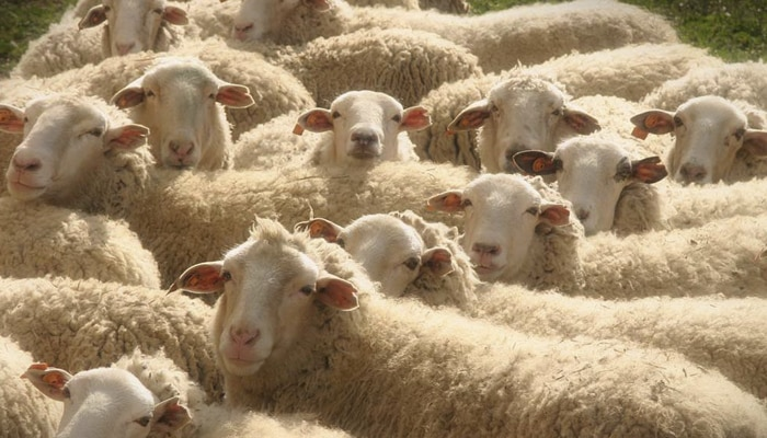 ganado ovino