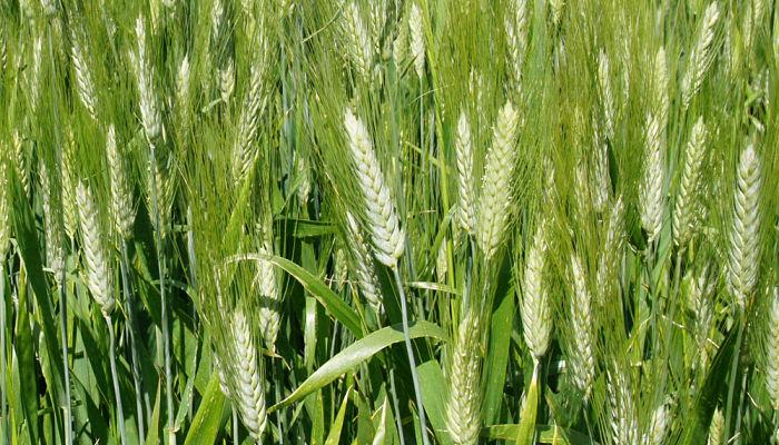 El trigo necesita su fertilizante