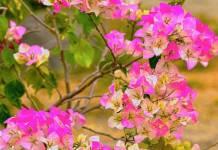 Cómo cultivar buganvilla