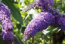 Cómo cultivar buddleia davidii
