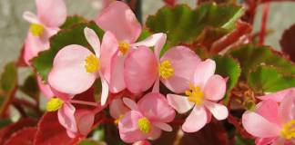 Cómo cultivar begonias