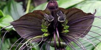 Cómo cultivar la flor de murciélago