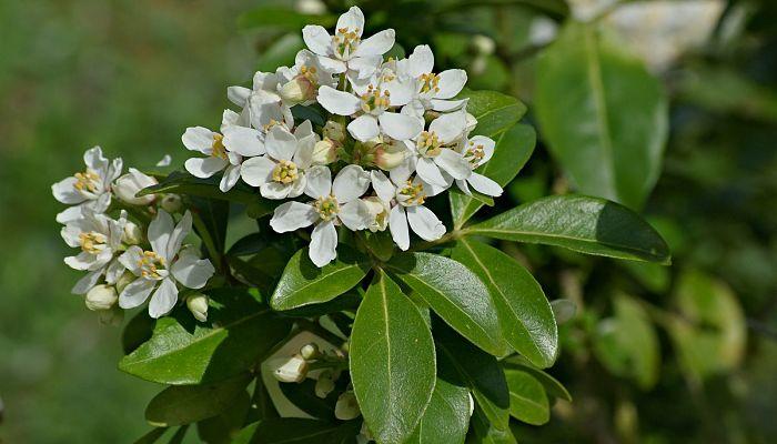 Cómo cultivar choisya ternata