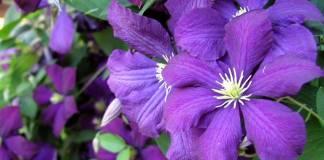 Cómo cultivar clematis
