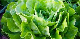Fertilizante para lechuga