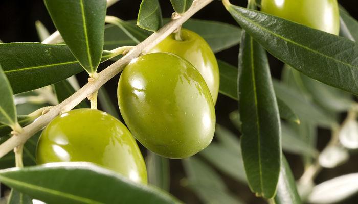 fertilizantes para los olivos