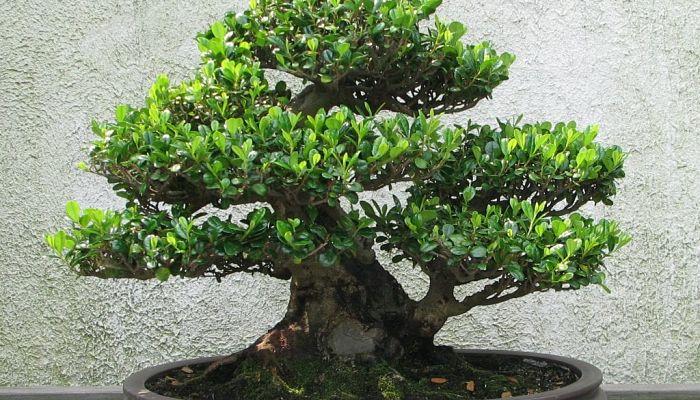 fertilizante para bonsái