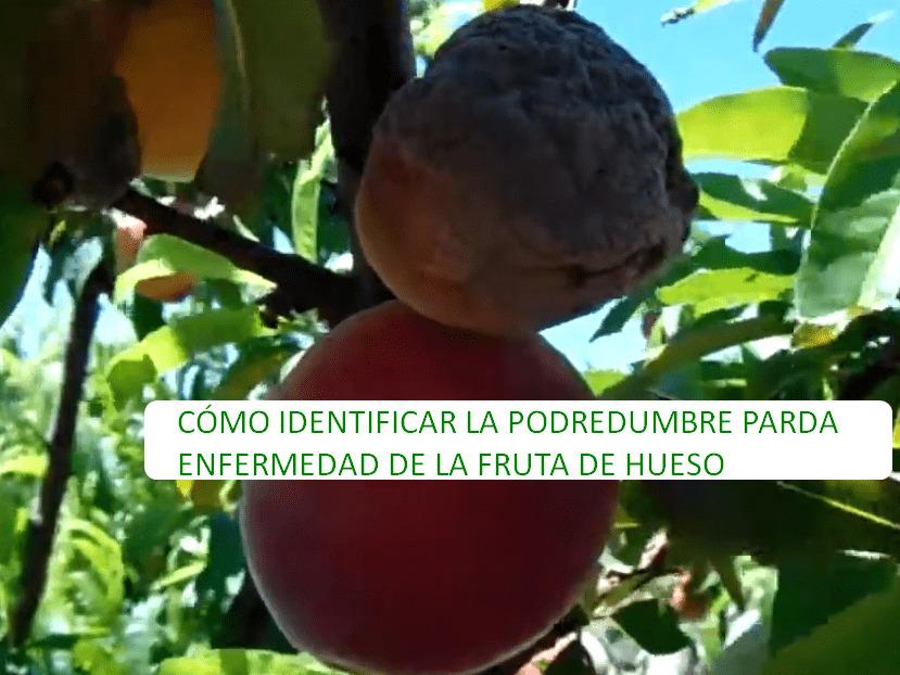 CÓMO IDENTIFICAR LA PODREDUMBRE PARDA ENFERMEDAD DE LA FRUTA DE HUESO