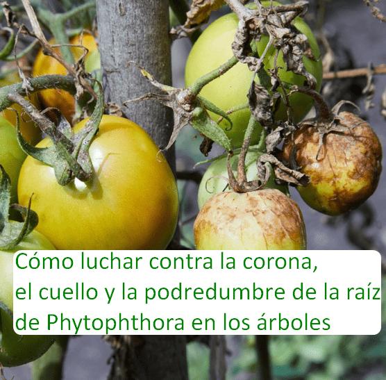Cómo luchar contra la corona, el cuello y la podredumbre de la raíz de Phytophthora en los árboles