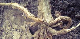 Cómo luchar contra la podredumbre del tallo y la raíz