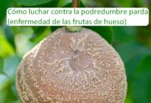 Cómo luchar contra la podredumbre parda (enfermedad de las frutas de hueso)