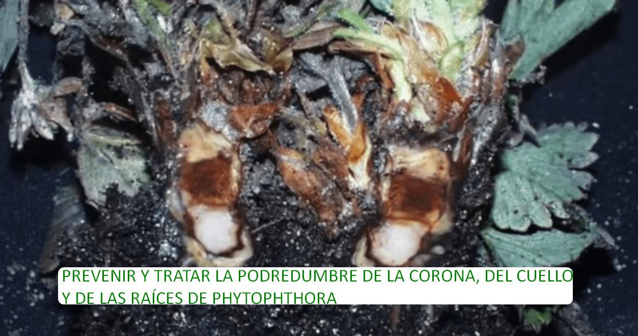 PREVENIR Y TRATAR LA PODREDUMBRE DE LA CORONA, DEL CUELLO Y DE LAS RAÍCES DE PHYTOPHTHORA