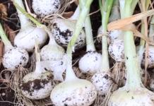 El suelo para el correcto cultivo de las cebollas