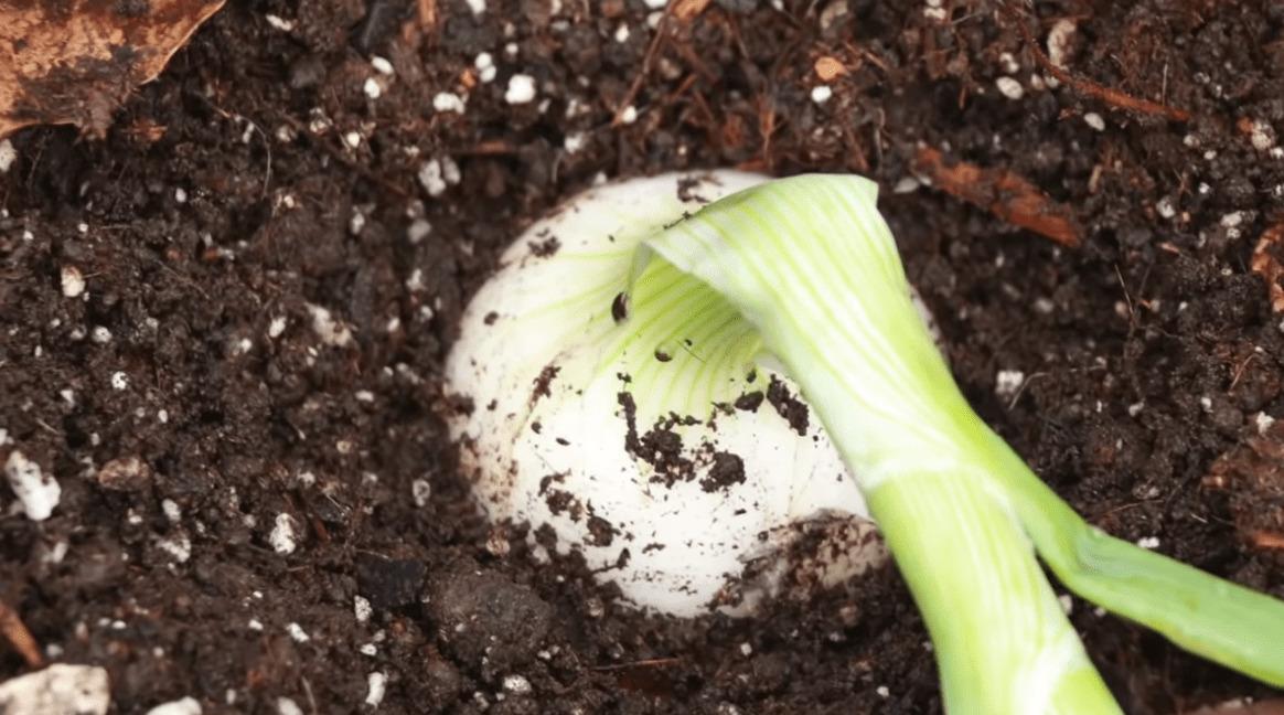 Almacenamiento y recolección de las cebollas