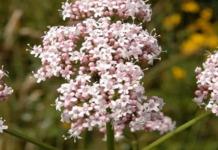 flores de valeriana rosa