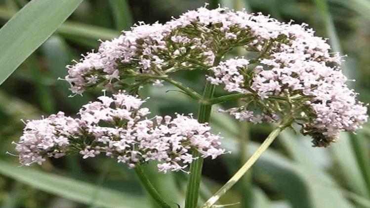flores de valeriana