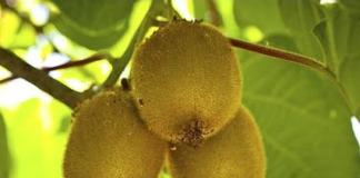 fruto de El kiwi