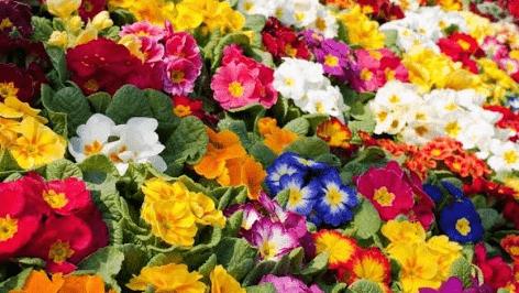 El cultivo de las prímulas y las variedades de esta flor