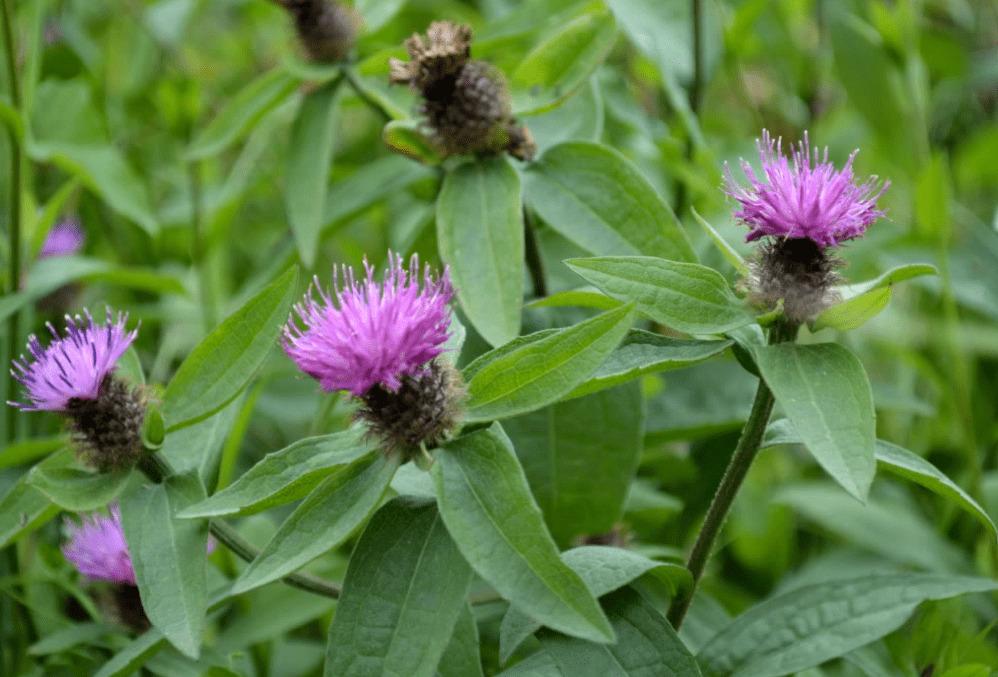 La bardana, sus propiedades, beneficios y los usos que tiene esta planta