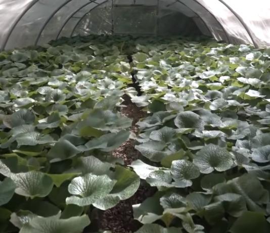 cultivar wasabi