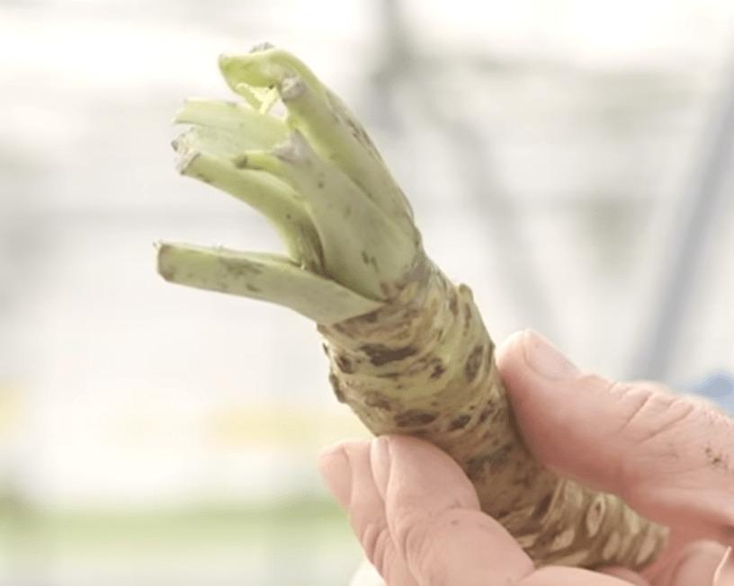 la raíz de wasabi