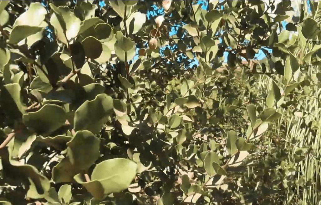 planta de Quillay