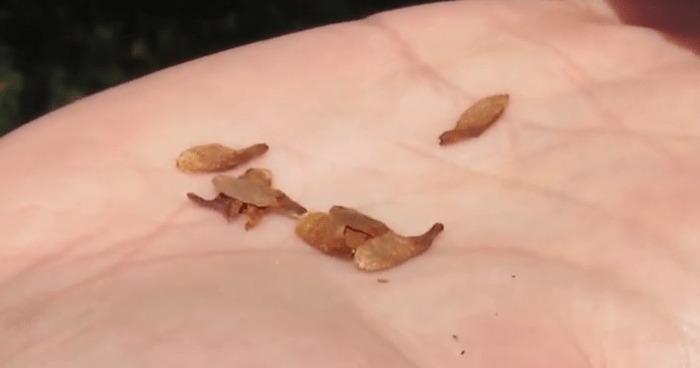 semillas de Quillay